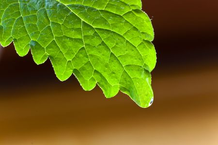 Mint leaf on  background-closeup Stock Photo - 4904509