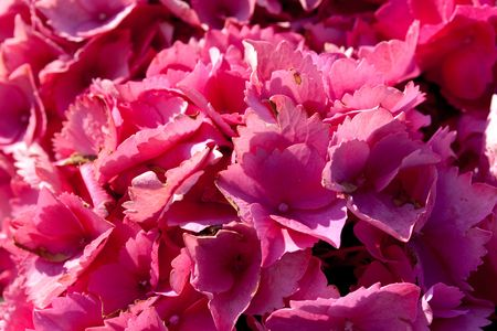 veiny: hydrangea macrophylla hortensis flower