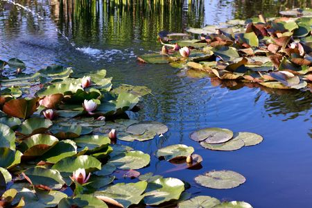 show garden: water lilies and reeds in the biotope