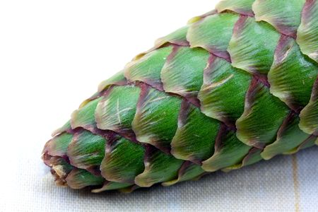 Young - green- Pine Cone Stock Photo - 5028154