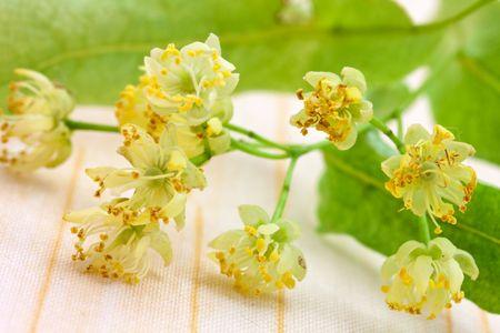 tilia: lime blossom - Tilia platyphyllos