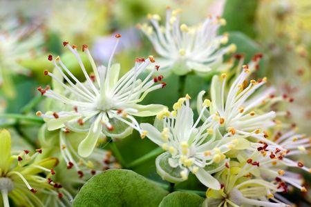 tilia: lime blossom -tilia platyphyllos