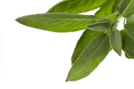 salve: Sage plant ,isolated on white background