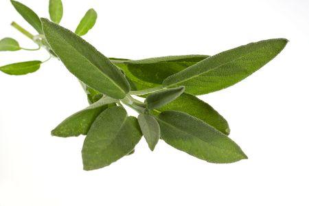 Sage plant ,isolated on white background Stock Photo - 5539102