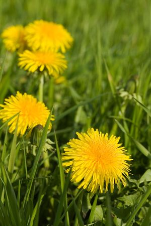 Farm with young Wheat and dandelion photo