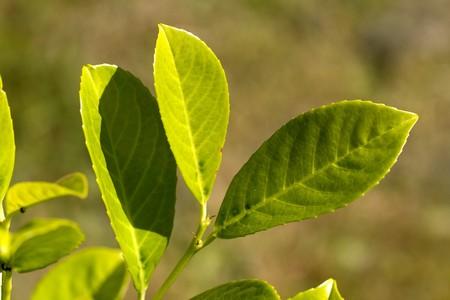 quick hedge: Ripe,green Leaves of Cherry Laurel  Stock Photo