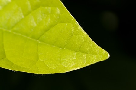 quick hedge: Ripe,green Leaves of Cherry Laurel  Stock Photo