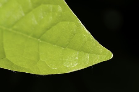 Ripe,green Leaves of Cherry Laurel photo