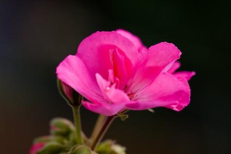 Pink hortensia hydrangea ,on the dark background,  photo