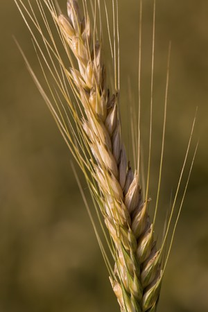 wheat grains,ears , close up shot .  photo
