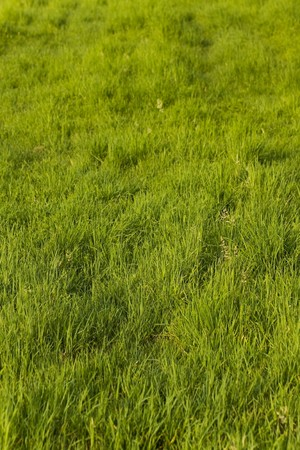 green plant background, young grass Stock Photo - 7406642