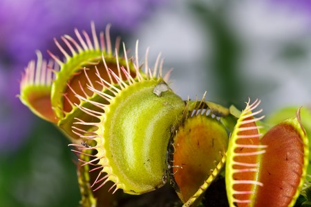 Dionaea muscipula , known as flytrap, in closeup, isolated on nature  background photo