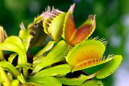 Dionaea muscipula , known as flytrap, in closeup, isolated on nature background  Stock Photo