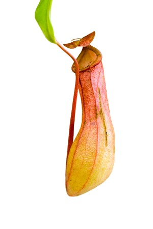 Nepenthes Alata, a carnivorous Plant,with green leaf,isolated on white.  Stock Photo