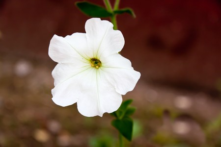 Close up,althaea officinalis,healthy flower  in the Garden.