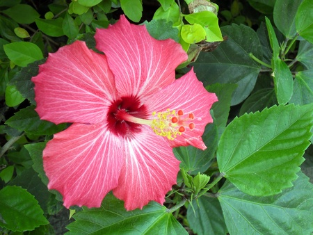 Red hibiscus flower and foliage , a close up shot. Stock Photo