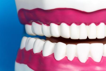molares: Modelo de mand�bula  Foto de archivo