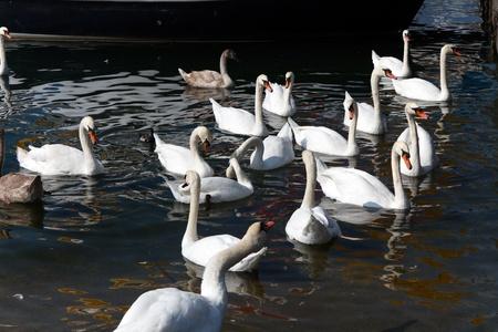 Beautiful white swans in lake Geneva,Switzerland photo