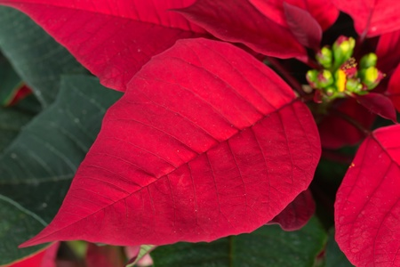 Christmas Flowers , Red Poinsettias with green leaves photo