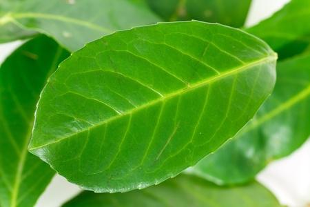 green bay leaf  on a white background photo