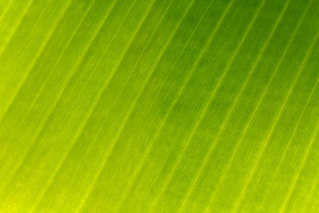 close up of a banana leaf  photo