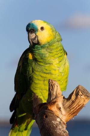 green parrot.  photo