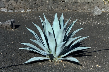 green agave  cactus