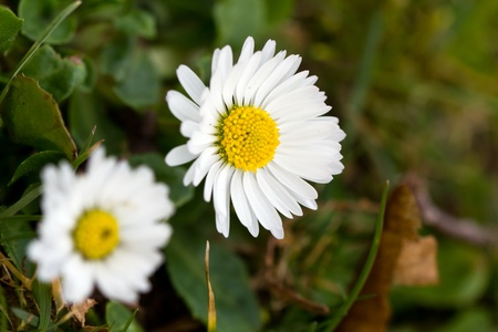 ox eye: Beautiful wild daisies growing on a grass field