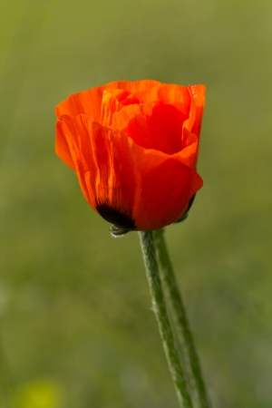Closeup of single poppy flower in field of grass  Isolated Stock Photo - 13944785