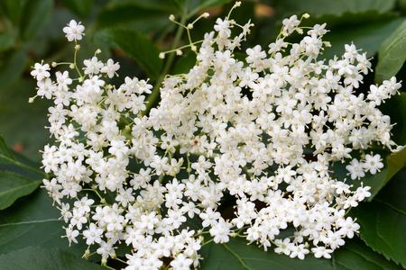 elder tree: elder flower