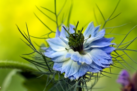 'living organism': Love-in-a-mist flower  Nigella damascena