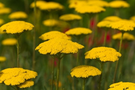 bloodwort ,Achillea millefolium, field Stock Photo - 14193390