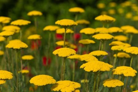 bloodwort ,Achillea millefolium, field photo
