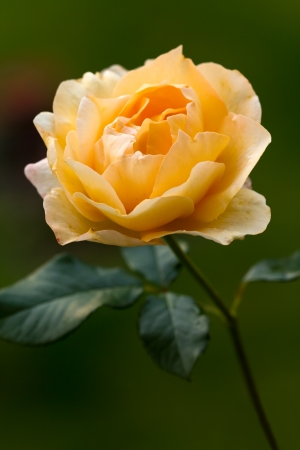 sweetheart: Orange Rose by Night