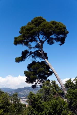 aslant: Maritime Pine curved tree, Pinus Pinaster mediterranean plant,