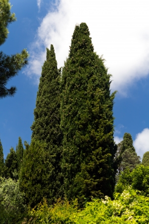 cypress tree: Cypress Tree in the Provence, France Stock Photo