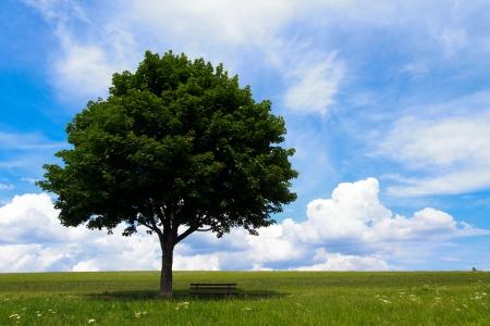 field maple: Landscape - lonely maple tree on green field, park bench