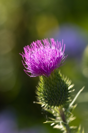mariano: Milk thistle in all its glory  Stock Photo