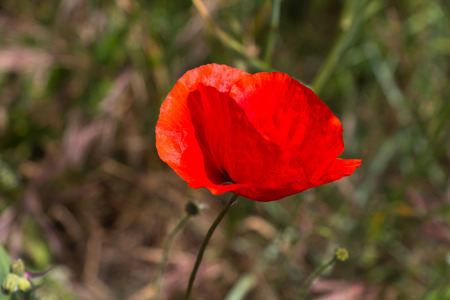 Red poppy flowers in the oil seed rape fields  photo