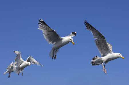 Herring Gulls preparing to land on sea