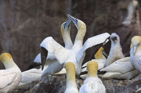 Pair of Gannets rubbing beaks in colony on Bass Rock, Firth of Forth Stock Photo