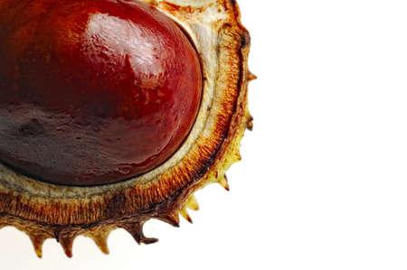 Macro schot conker (kastanje fruit) in het geval, geïsoleerd op wit, ruimte voor tekst