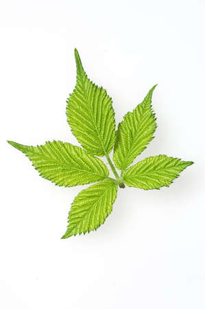 Five green leaves isolated on white