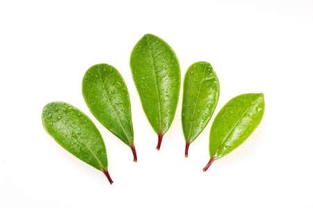 Groene bladeren met rode stammen - geïsoleerd op wit Stockfoto