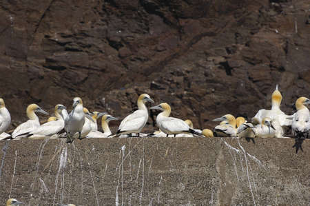 Gannets making use of man made ledge on Bass Rock, Firth of Forth, Scotland, UK