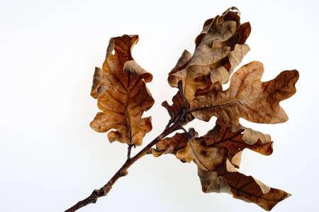 Gedroogde Oak Herfstbladeren op tak, geïsoleerd op wit Stockfoto