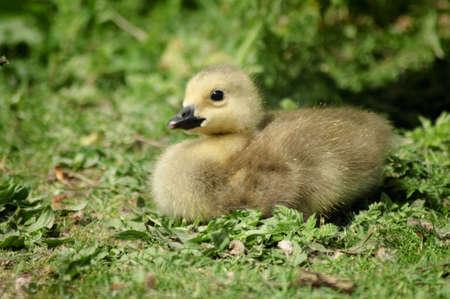 Canada Goose gosling op gras
