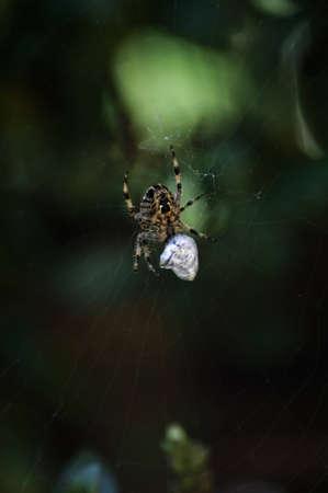 Garden Spider on web with prey Stock Photo