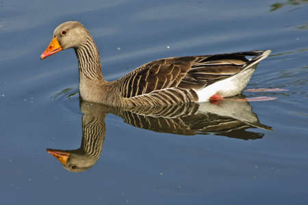 Greylag Goose on blue water with reflection Stock Photo