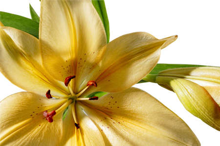 Yellow Lily close-up, isolated on white with path